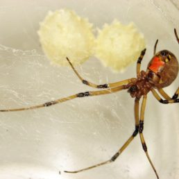 Featured spider picture of Latrodectus geometricus (Brown Widow Spider)