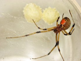 Picture of Latrodectus geometricus (Brown Widow Spider) - Female - Egg Sacs,Ventral,Webs
