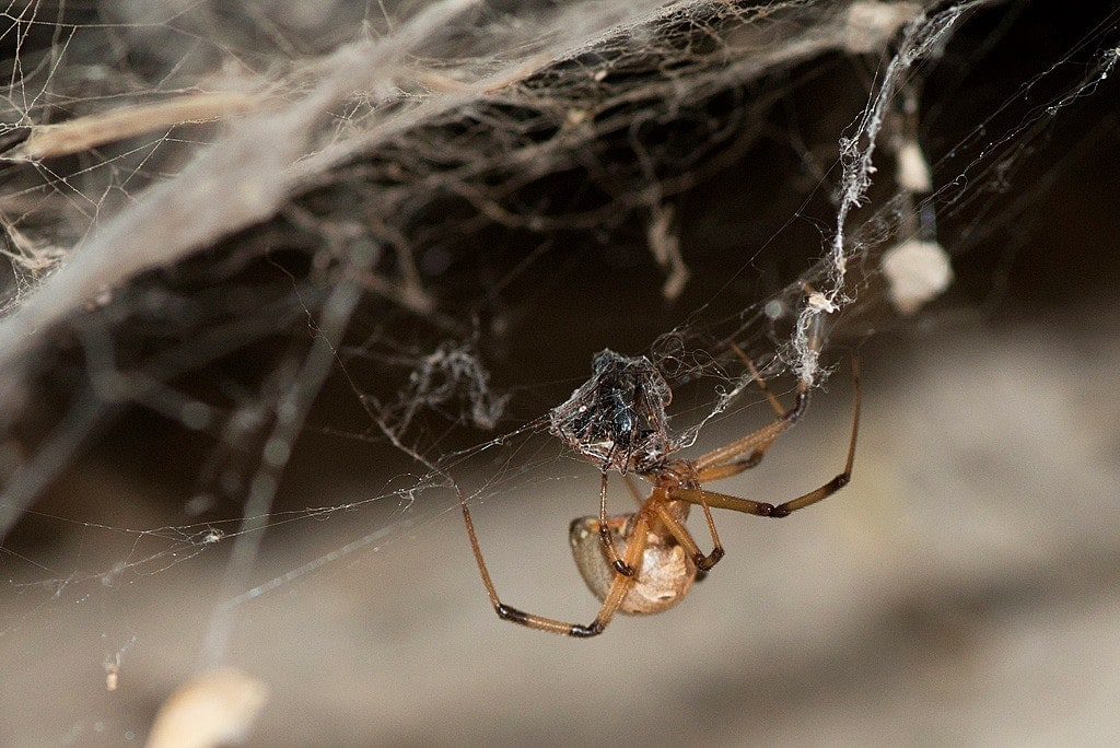 Picture of Latrodectus geometricus (Brown Widow Spider) - Female - Lateral,Webs