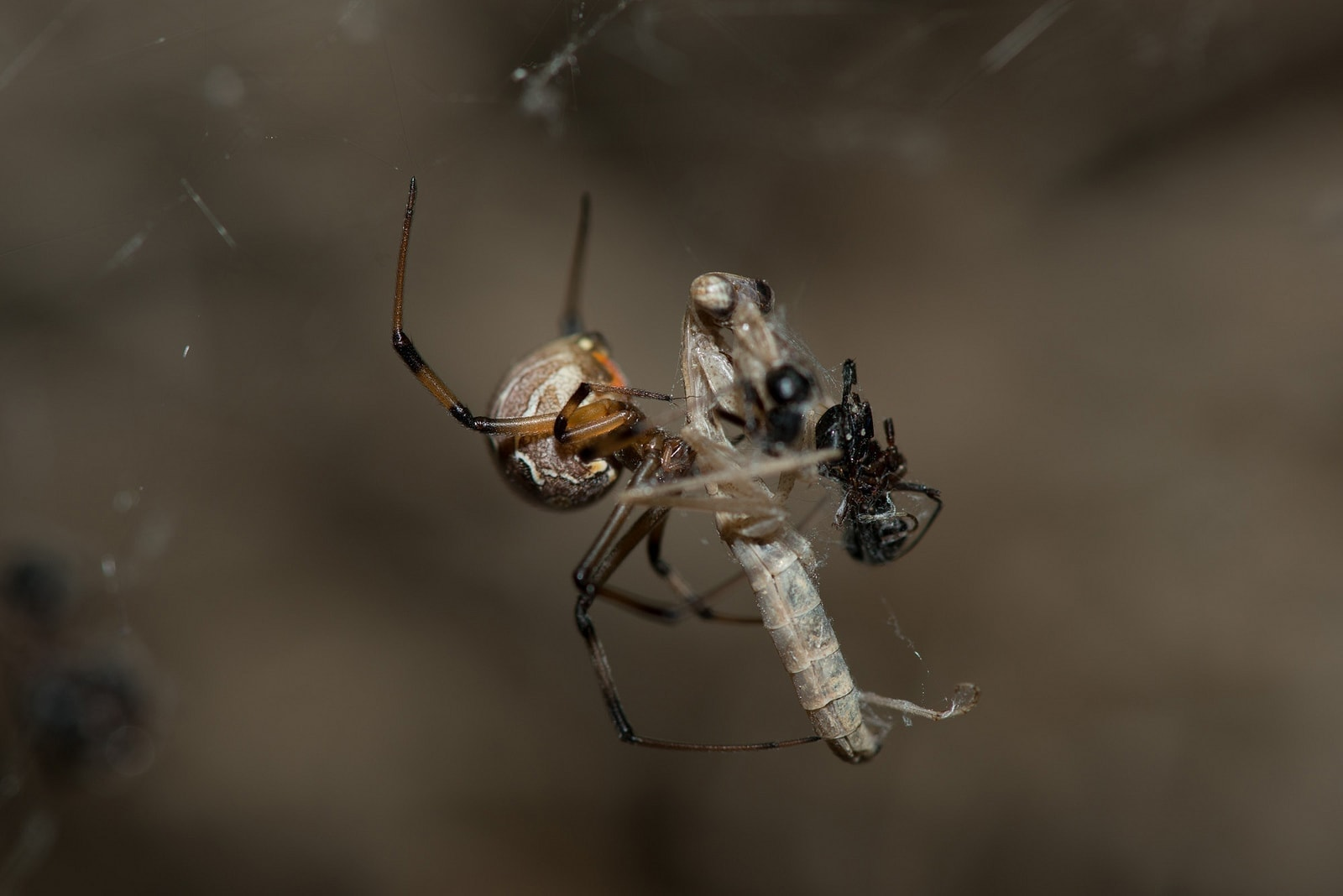 Picture of Latrodectus geometricus (Brown Widow Spider) - Female - Lateral,Prey