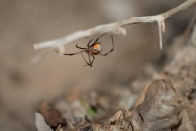 Picture of Latrodectus geometricus (Brown Widow Spider) - Female - Ventral
