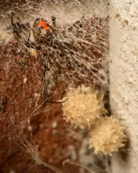 Picture of Latrodectus geometricus (Brown Widow Spider) - Female - Egg Sacs,Ventral