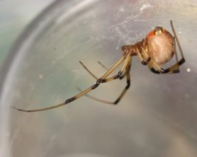 Picture of Latrodectus geometricus (Brown Widow Spider) - Female - Lateral