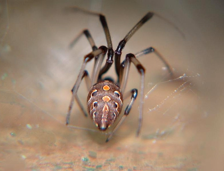 Picture of Latrodectus geometricus (Brown Widow Spider) - Female - Dorsal