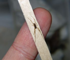 Picture of Latrodectus geometricus (Brown Widow Spider) - Male - Dorsal