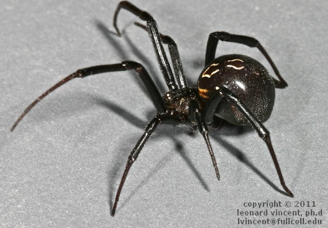 Picture of Latrodectus hesperus (Western Black Widow) - Female - Lateral