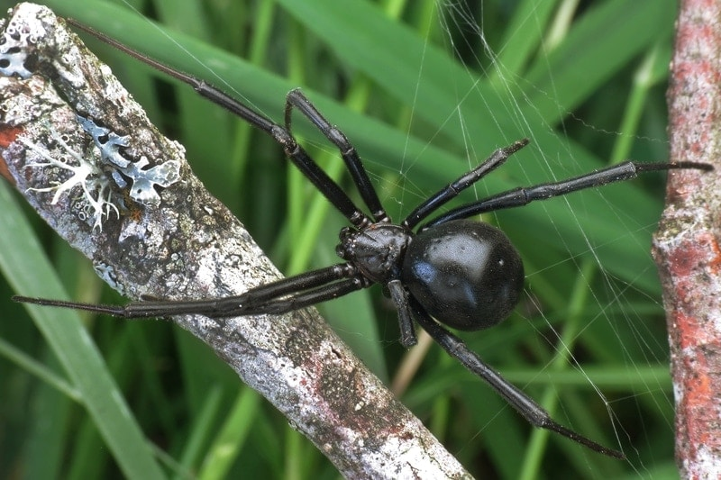 Picture of Latrodectus hesperus (Western Black Widow) - Female - Dorsal