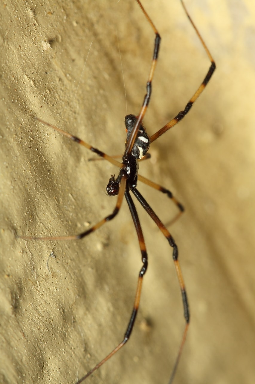 Picture of Latrodectus mactans (Southern Black Widow) - Male - Lateral
