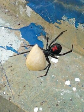 Picture of Latrodectus mactans (Southern Black Widow) - Female - Egg Sacs,Ventral