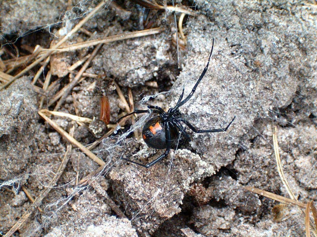 Picture of Latrodectus mactans (Southern Black Widow) - Female - Ventral,Webs