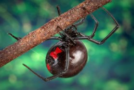 Picture of Latrodectus mactans (Southern Black Widow) - Female - Gravid,Ventral