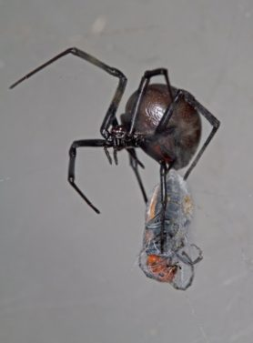 Picture of Latrodectus mactans (Southern Black Widow) - Female - Gravid,Lateral,Prey