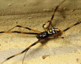 Picture of Latrodectus mactans (Southern Black Widow) - Male - Dorsal