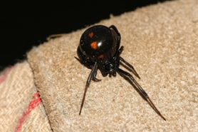 Picture of Latrodectus variolus (Northern Black Widow) - Female - Dorsal,Gravid