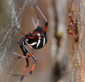Picture of Latrodectus variolus (Northern Black Widow) - Female - Lateral