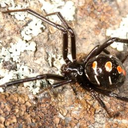 Featured spider picture of Latrodectus variolus (Northern Black Widow)