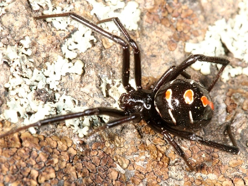 Picture of Latrodectus variolus (Northern Black Widow) - Female - Dorsal