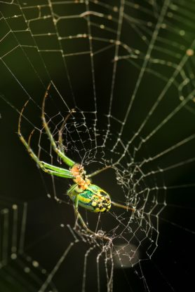 Picture of Leucauge venusta (Orchard Orb-weaver) - Female - Lateral,Ventral,Webs