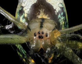 Picture of Leucauge venusta (Orchard Orb-weaver) - Female - Eyes