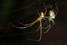 Picture of Leucauge venusta (Orchard Orb-weaver) - Male,Female - Lateral,Webs