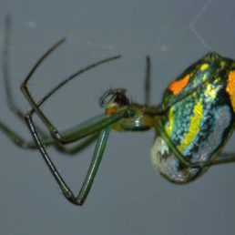 Featured spider picture of Leucauge argyrobapta (Mabel Orchard Orb-weaver)
