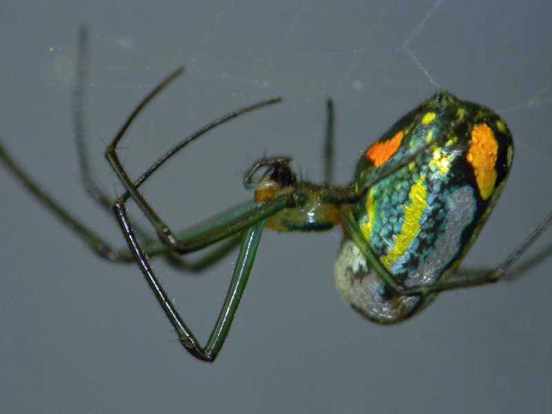 Picture of Leucauge argyrobapta (Mabel Orchard Orb-weaver) - Female - Lateral