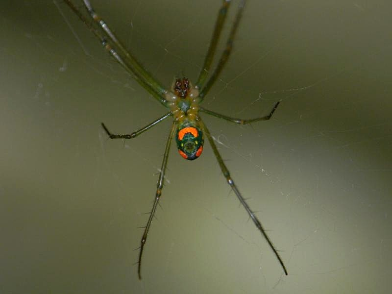 Picture of Leucauge argyrobapta (Mabel Orchard Orb-weaver) - Male - Ventral