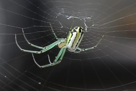 Picture of Leucauge venusta (Orchard Orb-weaver) - Female - Lateral,Webs