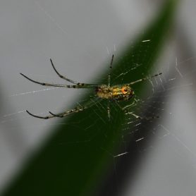 Picture of Leucauge venusta (Orchard Orb-weaver) - Male - Ventral,Webs
