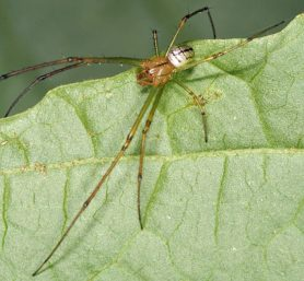 Picture of Leucauge venusta (Orchard Orb-weaver) - Male - Dorsal