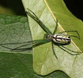 Picture of Leucauge venusta (Orchard Orb-weaver) - Female - Dorsal