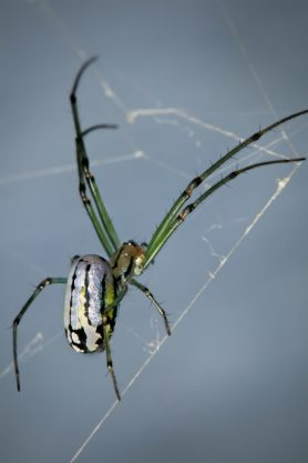 Picture of Leucauge venusta (Orchard Orb-weaver) - Female - Lateral