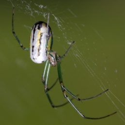Featured spider picture of Leucauge venusta (Orchard Orb-weaver)