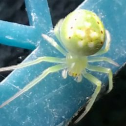Featured spider picture of Araneus cingulatus (Red-spotted Orb-weaver)