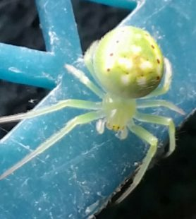 Picture of Araneus cingulatus (Red-spotted Orb-weaver) - Dorsal