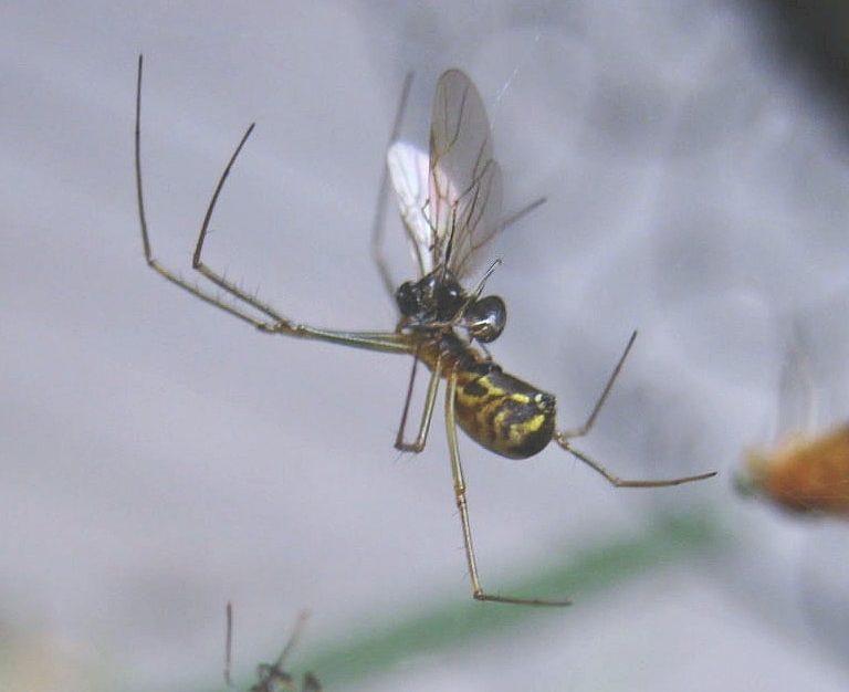 Picture of Neriene radiata (Filmy Dome Spider) - Lateral,Prey