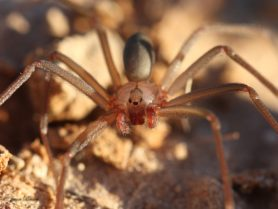 Picture of Loxosceles devia (Texas Recluse) - Male - Eyes