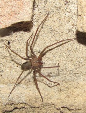 Picture of Loxosceles devia (Texas Recluse) - Male - Dorsal