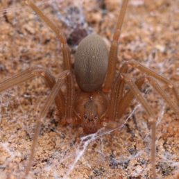 Featured spider picture of Loxosceles devia (Texas Recluse)