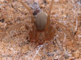 Picture of Loxosceles devia (Texas Recluse) - Female - Dorsal,Eyes