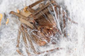 Picture of Loxosceles reclusa (Brown Recluse) - Female - Eyes,Webs