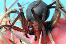 Picture of Loxosceles reclusa (Brown Recluse) - Female - Eyes,Gravid