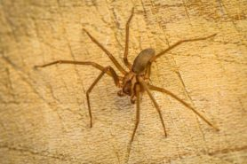 Picture of Loxosceles reclusa (Brown Recluse) - Female - Dorsal