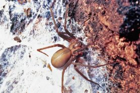 Picture of Loxosceles reclusa (Brown Recluse) - Female - Dorsal,Webs