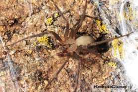 Picture of Loxosceles reclusa (Brown Recluse) - Male - Dorsal,Eyes,Webs