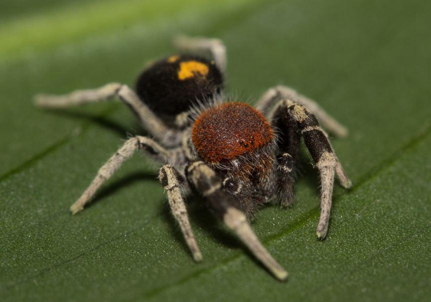 Picture of Seothyra (Buck Spoor Spiders) - Male - Eyes