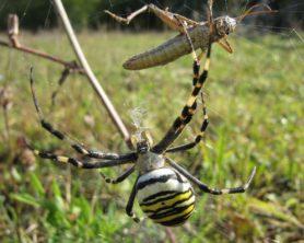 Picture of Argiope bruennichi (Wasp Spider) - Dorsal,Prey