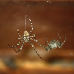 Featured spider picture of Araneus cavaticus (Barn Orb-weaver Spider)