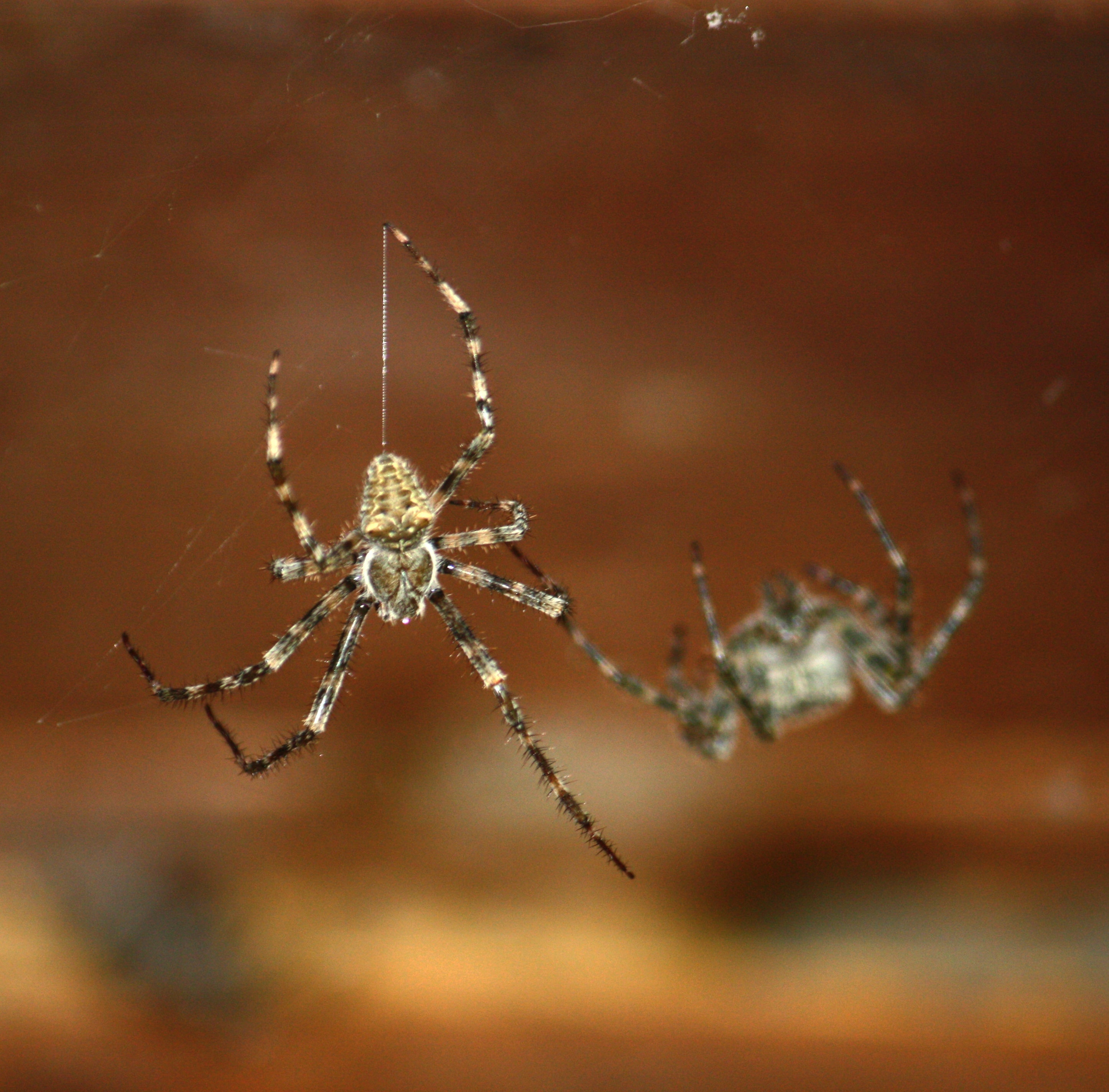 Picture of Araneus cavaticus (Barn Orb-weaver Spider) - Male,Female - Dorsal