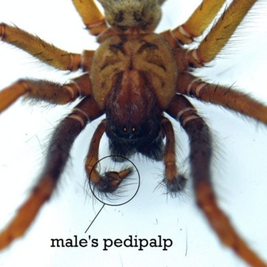 Male spider's pedipalp